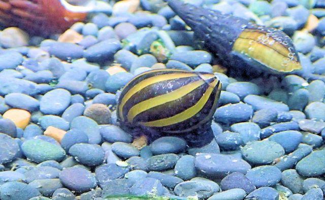 Neritina sp Zebra snail