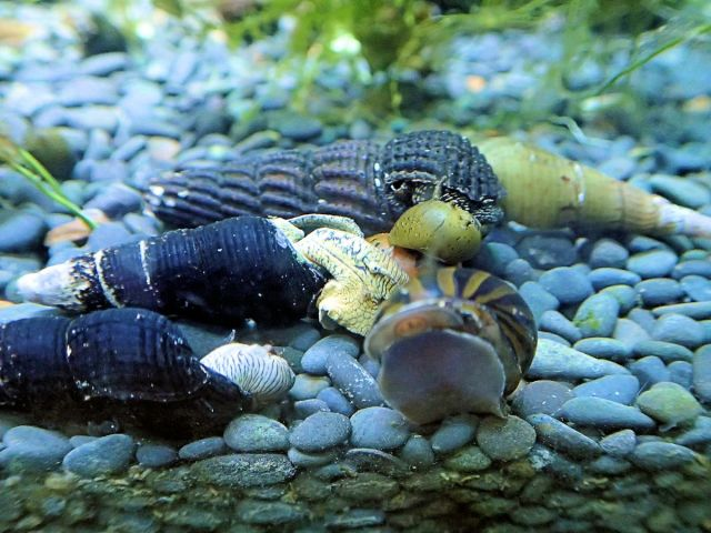Tylomelania sp snail