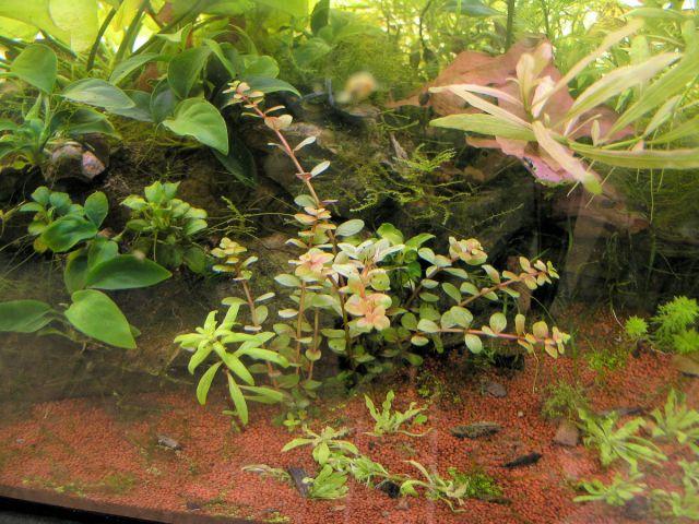 Ammania bonsai -  Rotala Indica