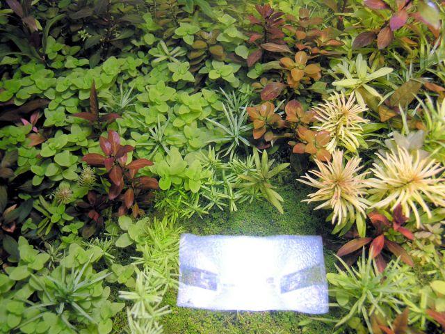 Ludvigia repens rubin i Ludvigia glandulosa