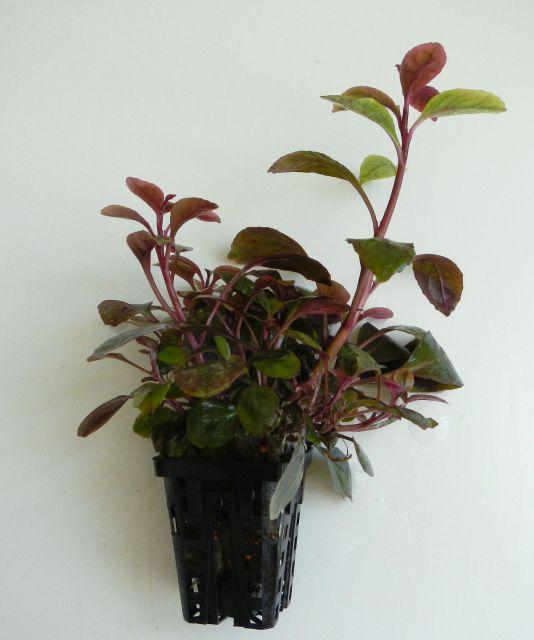lobelia cardinalis mini biljni akvariji gallery elegancereef. Black Bedroom Furniture Sets. Home Design Ideas