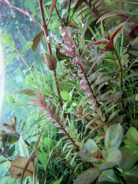fotosinteza , perling