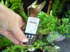 Anubias biljke 20.06.2014
