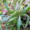 Hygrophila salicifolia - Ponuda Biljka 15.03.2012