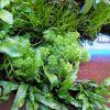 Limnophila sessiliflora - ambulia