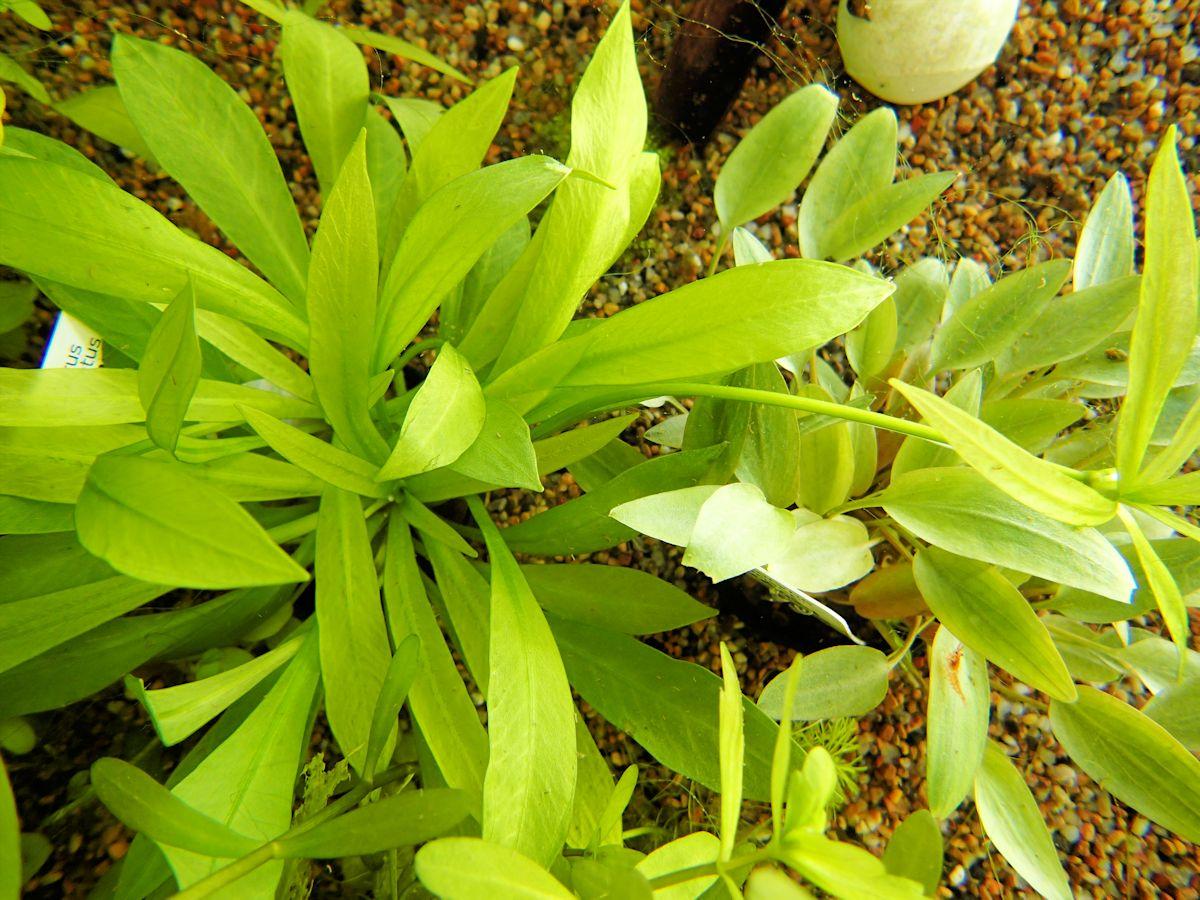"""Echinodorus quadricostatus """"magdalenensis"""