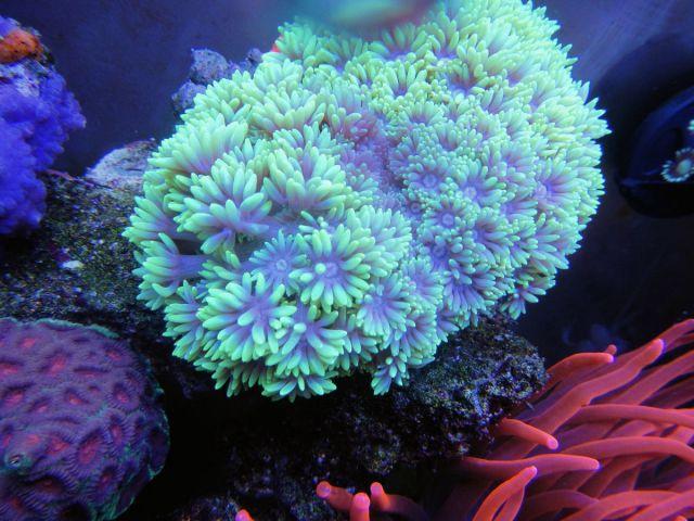 Neon goniopora