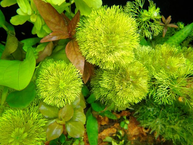 Limnophylla sesiflora