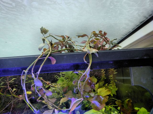 Mocira akvarij, ludvigia repens