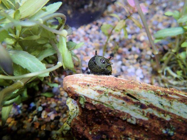 horn snail