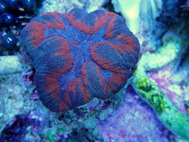 Symphyllia sp