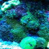 Assorted Zoanthid And Plate Coral