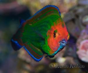 male-red-head-wrasse_halichoeres-rubricephalus1.jpg